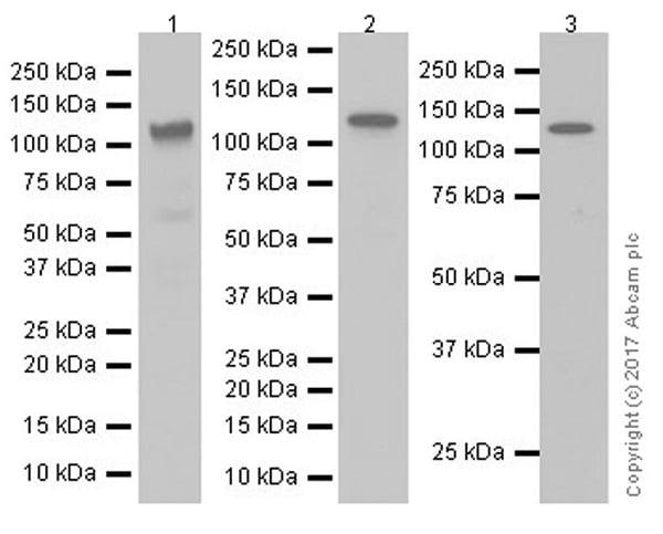 Western blot - Anti-BubR1 antibody [EPR20652] (ab209998)