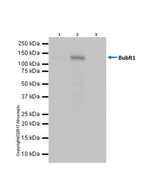 Immunoprecipitation - Anti-BubR1 antibody [EPR20652] (ab209998)