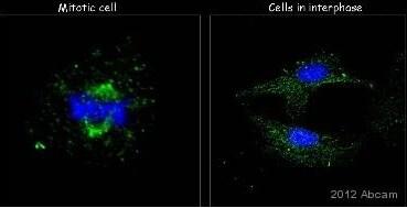 Immunocytochemistry/ Immunofluorescence - Anti-beta Tubulin antibody (ab21057)