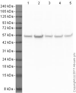 Western blot - Anti-beta Tubulin antibody (ab21057)