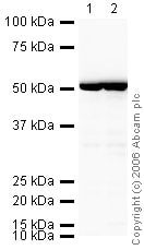 Western blot - HRP Anti-beta Tubulin antibody - Loading Control (ab21058)