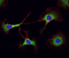 Immunocytochemistry/ Immunofluorescence - Anti-PABP antibody (ab21060)