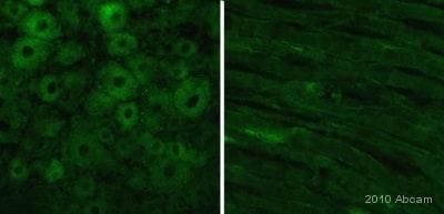 Immunohistochemistry (PFA perfusion fixed frozen sections) - Anti-Kv1.6/RCK2 antibody (ab21089)