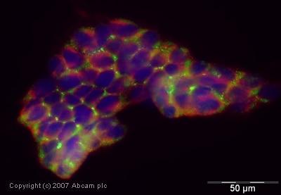 Immunocytochemistry/ Immunofluorescence - Anti-Kv1.6/RCK2 antibody (ab21089)