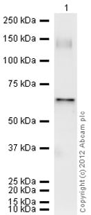 Western blot - Anti-XIAP antibody (ab21278)