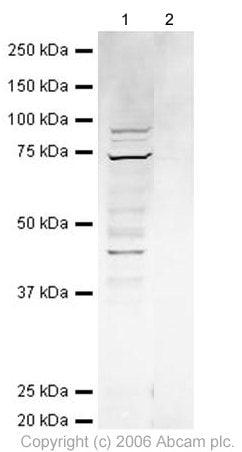 Western blot - Anti-ZW10 antibody (ab21582)