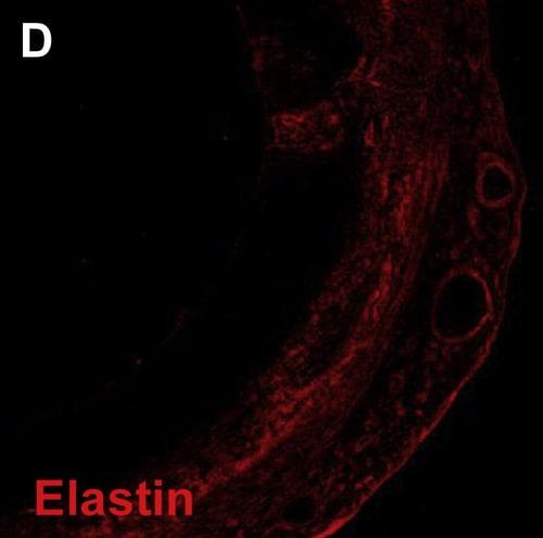Immunohistochemistry (Frozen sections) - Anti-Elastin antibody (ab21610)