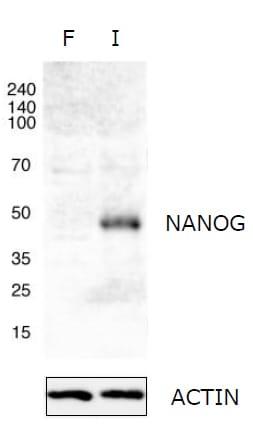 Western blot - Anti-Nanog antibody - ChIP Grade (ab21624)