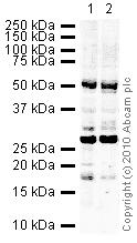 Western blot - Anti-NAP1L4 antibody (ab21631)
