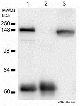 Immunoprecipitation - Anti-Clathrin heavy chain antibody (ab21679)