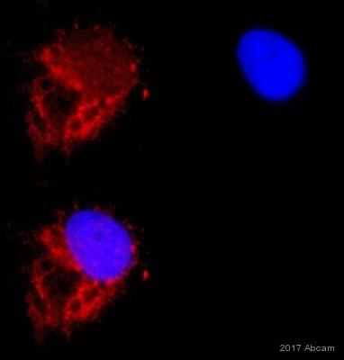 Immunocytochemistry/ Immunofluorescence - Anti-GRP78 BiP antibody (ab21685)