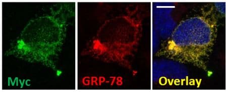 Immunocytochemistry/ Immunofluorescence - Anti-GRP78 BiP antibody (ab21685)