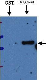 Western blot - Anti-Deep Orange antibody (ab21872)