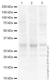 Western blot - Anti-Superoxide Dismutase 3/EC-SOD antibody (ab21974)