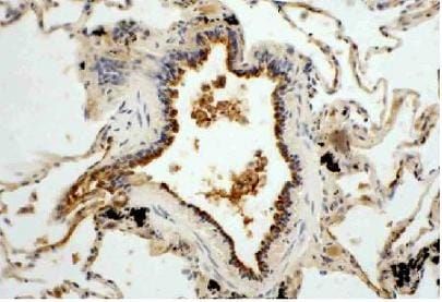 Immunohistochemistry (Frozen sections) - Anti-Superoxide Dismutase 3/EC-SOD antibody (ab21974)
