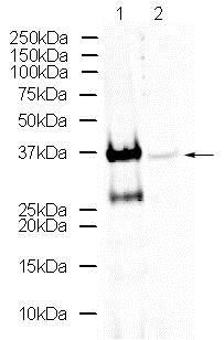 Western blot - Anti-Otx1 + Otx2 antibody (ab21990)