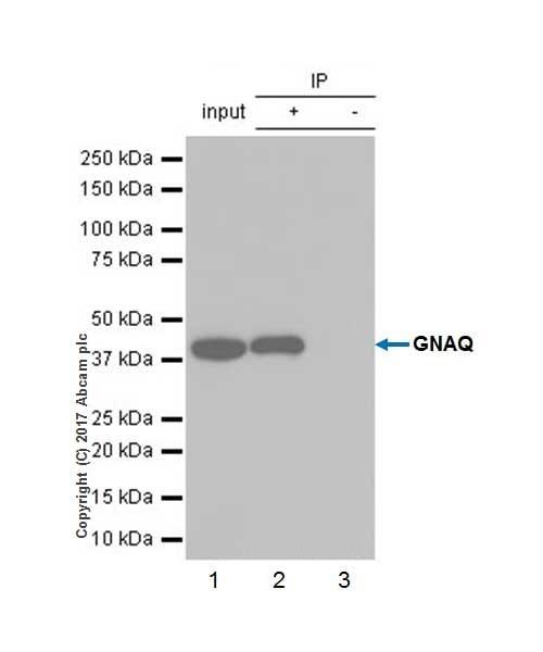 Immunoprecipitation - Anti-GNAQ antibody [EPR20978] (ab210004)