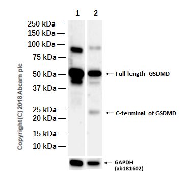 Western blot - Anti-GSDMD antibody [EPR19829] (ab210070)