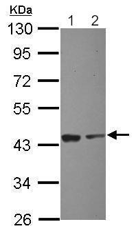 Western blot - Anti-EIF2S1 antibody (ab210077)