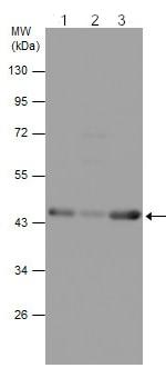 Western blot - Anti-beta Actin antibody (ab210083)