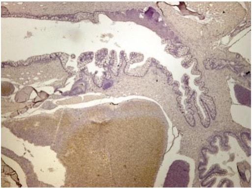 Immunohistochemistry (Formalin/PFA-fixed paraffin-embedded sections) - Anti-ALDH2 antibody (ab210098)