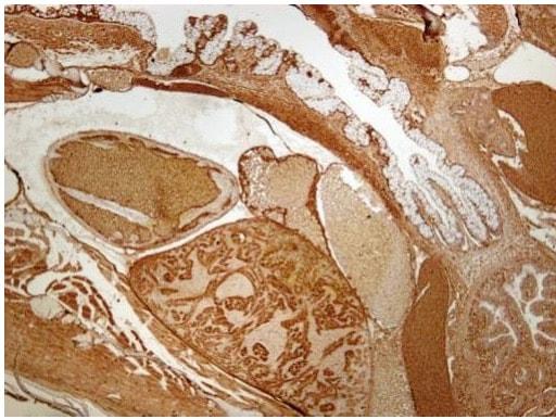 Immunohistochemistry (Formalin/PFA-fixed paraffin-embedded sections) - Anti-Plastin L antibody (ab210099)