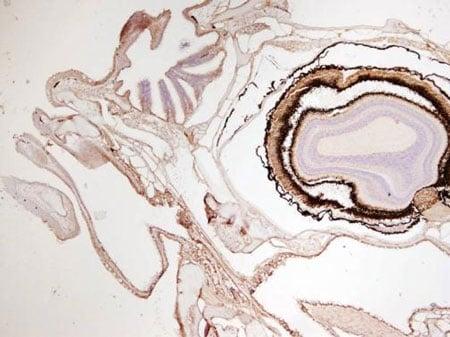 Immunohistochemistry (Formalin/PFA-fixed paraffin-embedded sections) - Anti-Cytokeratin 8 antibody (ab210106)