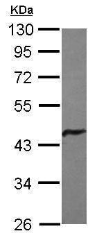 Western blot - Anti-Glutamine Synthetase antibody (ab210107)