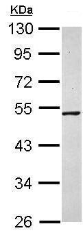 Western blot - Anti-TBX5 antibody (ab210111)