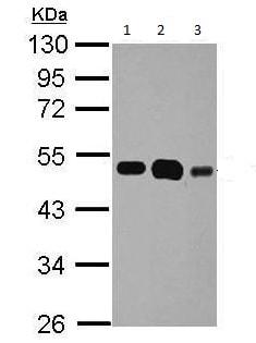Western blot - Anti-eEF1A1/EF-Tu antibody (ab210120)