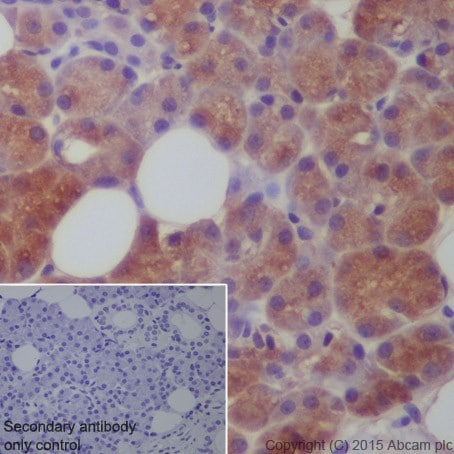 Immunohistochemistry (Formalin/PFA-fixed paraffin-embedded sections) - Anti-Carbonic Anhydrase 6/CA6 antibody [EPR13954(2)] (ab210406)