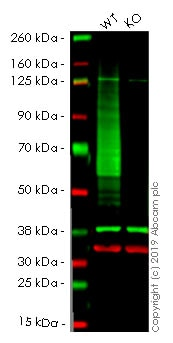 Western blot - Anti-Glucose Transporter GLUT1 antibody [EPR3915] (Alexa Fluor® 405) (ab210438)