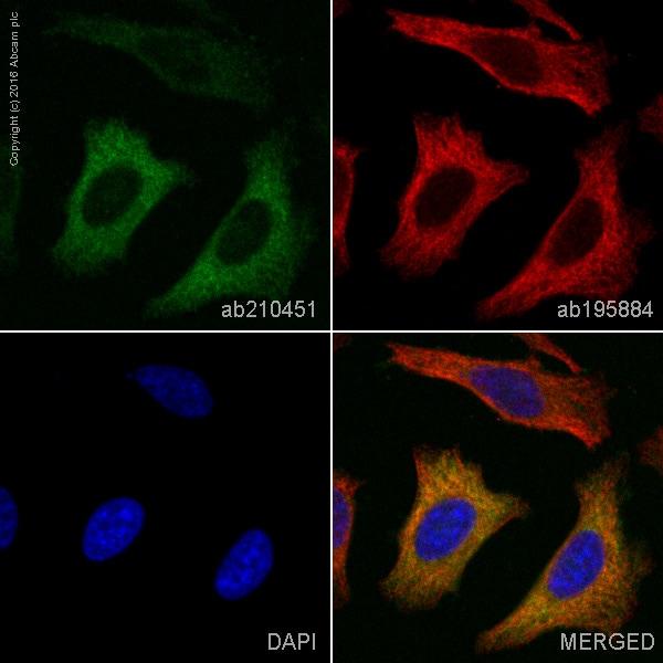 Immunocytochemistry/ Immunofluorescence - Anti-ASS1 antibody [EPR12398] (Phycoerythrin) (ab210451)