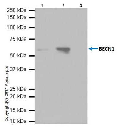 Immunoprecipitation - Anti-Beclin 1 antibody [EPR20473] (ab210498)