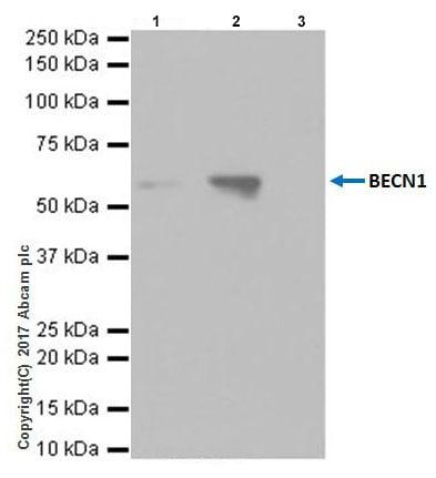 Immunoprecipitation - Anti-Beclin 1 antibody [EPR20473] (ab210498)