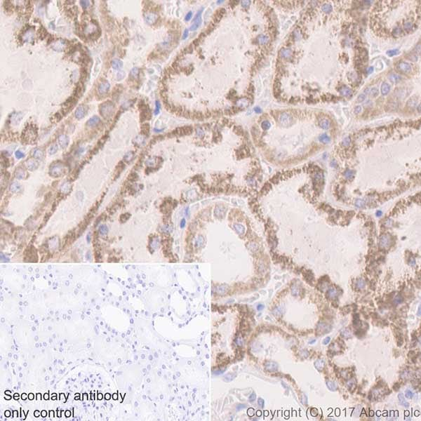 Immunohistochemistry (Formalin/PFA-fixed paraffin-embedded sections) - Anti-Beclin 1 antibody [EPR20473] (ab210498)