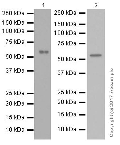 Western blot - Anti-Beclin 1 antibody [EPR20473] (ab210498)