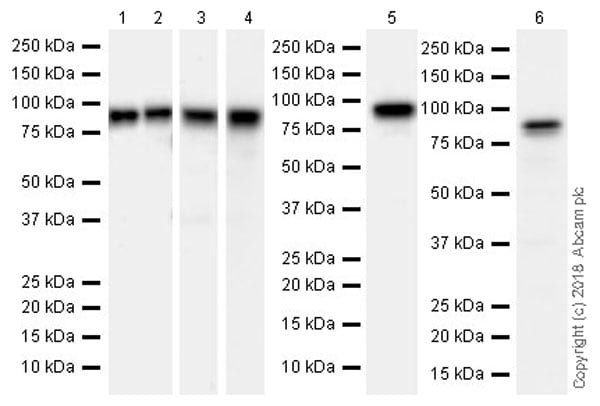 Western blot - Anti-STAT1 antibody [EPRR21057-168] (ab210524)
