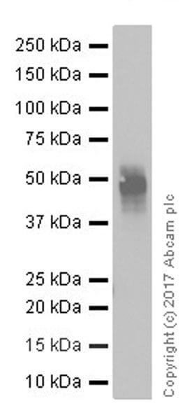 Western blot - Anti-TIM 3 antibody [EPR20767] (ab210543)