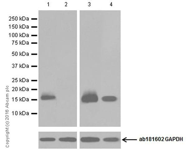 Western blot - Anti-MelanA antibody [EPR20380] (ab210546)