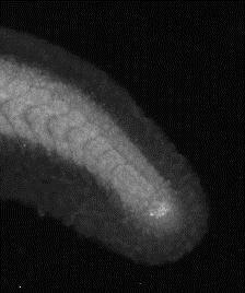 IHC - Wholemount - Anti-Noto antibody (ab210568)