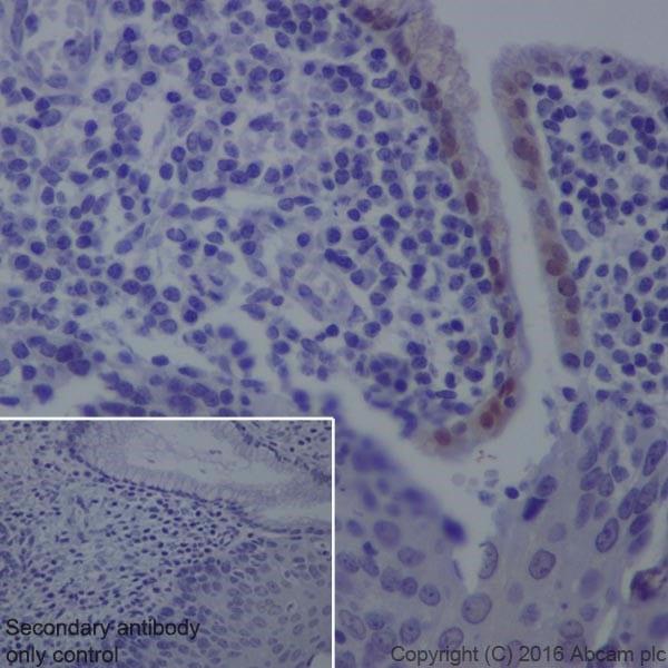 Immunohistochemistry (Formalin/PFA-fixed paraffin-embedded sections) - Anti-GDA antibody [EPR18751] (ab210606)
