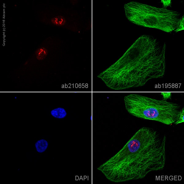 Immunocytochemistry/ Immunofluorescence - Anti-PHOX2B antibody [EPR14423] - C-terminal (Alexa Fluor® 594) (ab210658)