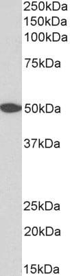 Western blot - Anti-GPCR GPR39 antibody (ab210693)