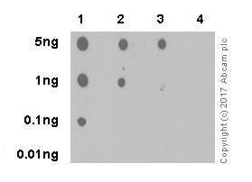 Dot Blot - Anti-Tau (phospho S202 + T205) antibody [EPR20390] (ab210703)