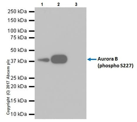 Immunoprecipitation - Anti-Aurora B (phospho S227) antibody [EPR20389] (ab210706)