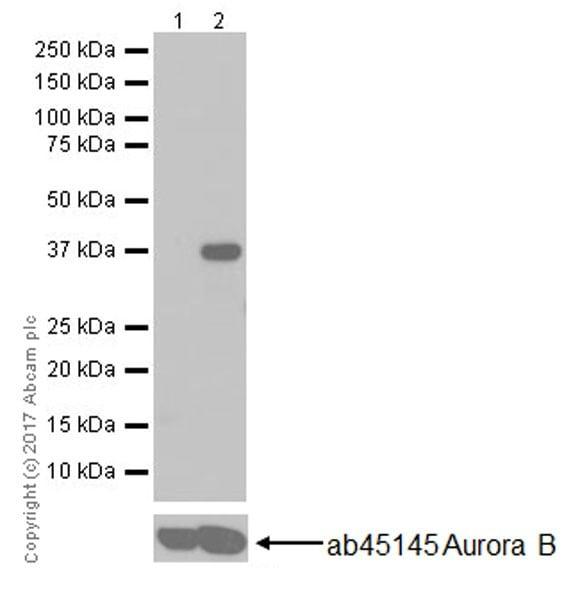 Western blot - Anti-Aurora B (phospho S227) antibody [EPR20389] (ab210706)