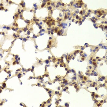 Immunohistochemistry (Formalin/PFA-fixed paraffin-embedded sections) - Anti-TAF1C antibody (ab210750)