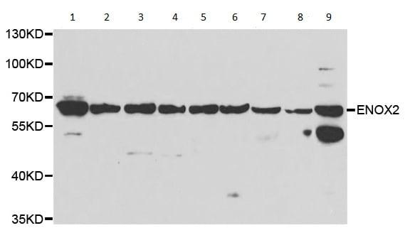 Western blot - Anti-ENOX2/tNOX antibody (ab210751)