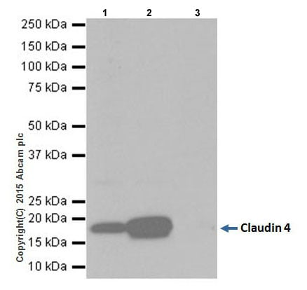 Immunoprecipitation - Anti-Claudin 4 antibody [EPRR17575] (ab210796)